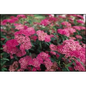 Spiraea japonica 'Anthony Waterer' / Jaapani enelas 'Anthony Waterer'
