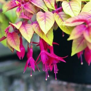 Rippuv värdfuksia 'Autumnale' /Fuchsia hybrida