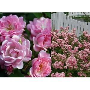 Rosa 'The Fairy', pinnakatteroos