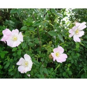 Rosa canina / Koer-kibuvits
