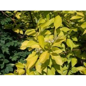 Cornus alba 'Aurea' / Siberi kontpuu 'Aurea'