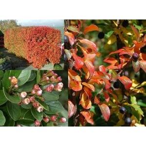 Cotoneaster lucidus / Läikiv tuhkpuu