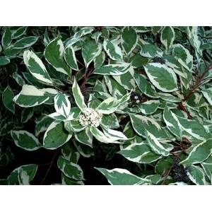 Cornus alba 'Elegantissima' / Siberi kontpuu 'Elegantissima'