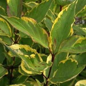 Cornus alba 'Gouchaltii' / Siberi kontpuu 'Gouchaltii'