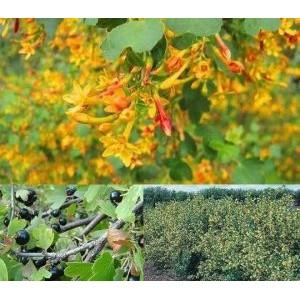 Ribes aureum / Kuldsõstar