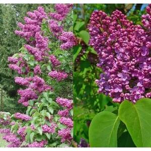 Syringa vulgaris / Harilik sirel