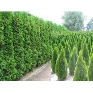 Harilik elupuu 'Smaragd' / Thuja occidentalis 'Smaragd'