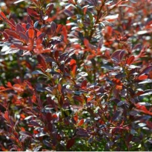 Berberis thunbergii 'Red Dream' / Thunbergi kukerpuu 'Red Dream'
