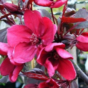Malus 'Royalty' / Iluõunapuu 'Royalty'