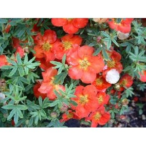 Potentilla fruticosa 'Red Ace'/ Põõsasmaran 'Red Ace'