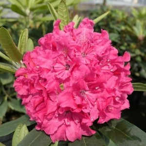 Rhododendron 'Double Kiss' / Rododendron 'Double Kiss'