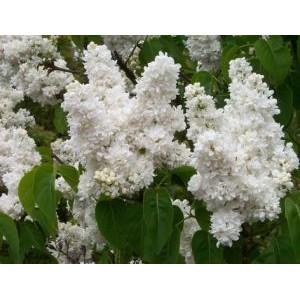 Syringa vulgaris 'Madame Lemoine' / Harilik sirel 'Madame Lemoine'