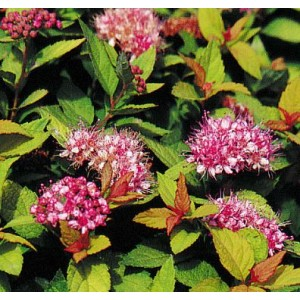 Spiraea japonica 'Dakota Goldcharm' / Jaapani enelas 'Dakota Goldcharm'