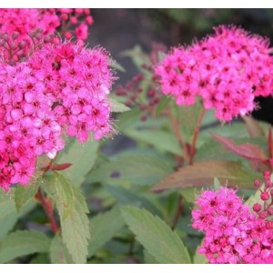 Spiraea japonica 'Neon Flash' / Jaapani enelas 'Neon Flash'