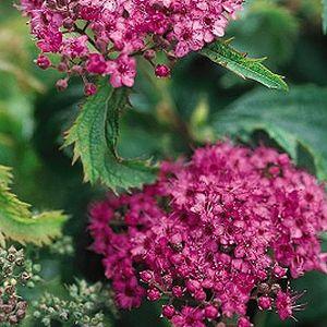 Spiraea japonica 'Crispa' / Jaapani enelas 'Crispa'