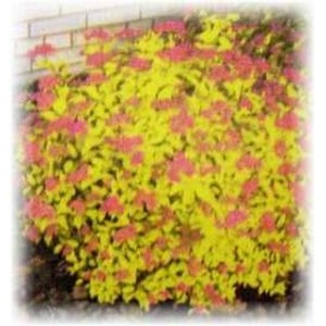 Spiraea japonica 'Goldmound' / Jaapani enelas 'Goldmound'