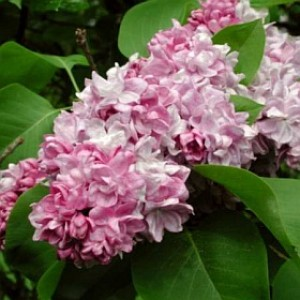 Syringa vulgaris 'Katherine Havemeyer' / Harilik sirel 'Katherine Havemeyer'