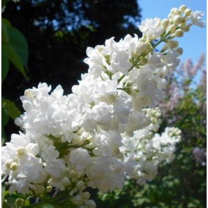 Syringa vulgaris 'Miss Ellen Willmott' / Harilik sirel 'Miss Ellen Willmott'