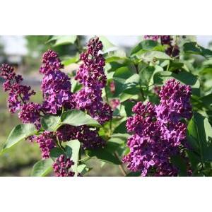 Syringa vulgaris 'Charles Joly' / Harilik sirel 'Charles Joly'