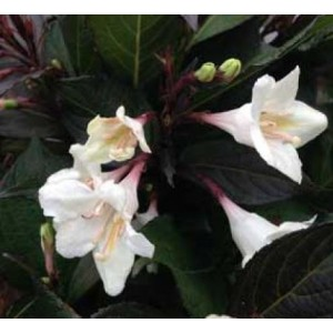 Weigela 'Ebony and Ivory' / Veigela 'Ebony and Ivory'