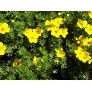 Potentilla fruticosa 'Goldfinger' / Põõsasmaran 'Goldfinger'