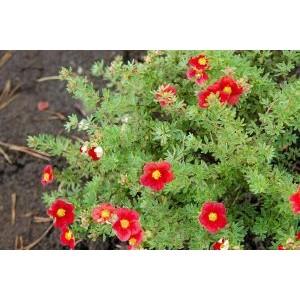 Potentilla fruticosa 'Marian Red Robin' / Põõsasmaran 'Marian Red Robin'