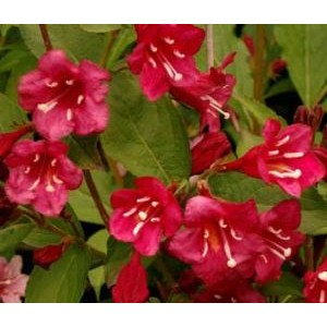 Weigela 'Red Prince' / Veigela 'Red Prince'