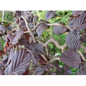Corylus avellana 'Red Majestic' / Harilik sarapuu 'Red Majestic'