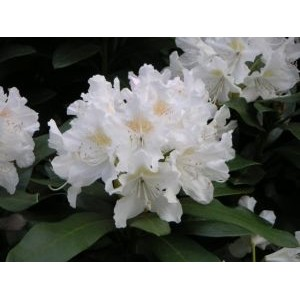 Rhododendron 'Cunningham's White' / Rododendron 'Cunningham's White'