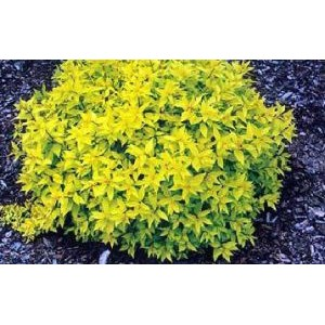 Spiraea japonica 'Golden Carpet' / Jaapani enelas 'Golden Carpet'