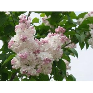Syringa vulgaris 'Beauty of Moscow' / Harilik sirel 'Beauty of Moscow'