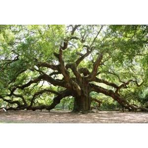 Quercus robur / Harilik tamm