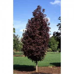 Acer platanoides 'Royal Red' / Harilik vaher 'Royal Red'
