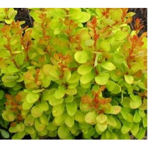 Berberis thunbergii 'Golden Dream' / Thunbergi kukerpuu 'Golden Dream'