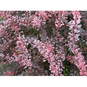 Berberis thunbergii 'Rose Glow' / Thunbergi kukerpuu 'Rose Glow'