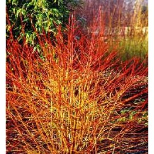 Cornus sanguinea 'Midwinter Fire' / Verev kontpuu 'Midwinter Fire'
