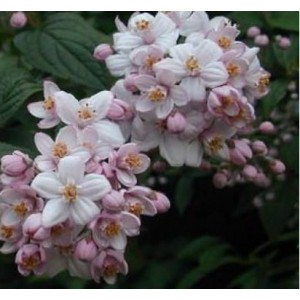 Deutzia hybrida 'Mont Rose' / Hübriid deutsia 'Mont Rose'