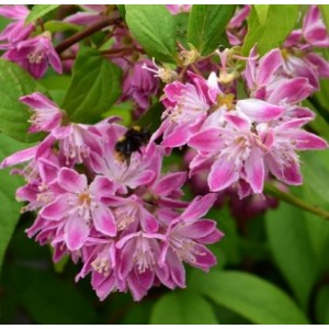 Deutzia x hybrida 'Strawberry Fields' / Aed-deutsia 'Strawberry Fields'