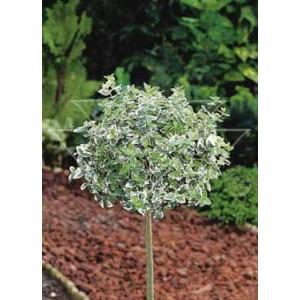 Euonymus fortunei 'Emarald'n Gaiety' / Fortunei kikkapuu 'Emerald'n Gaiety' tüvivorm