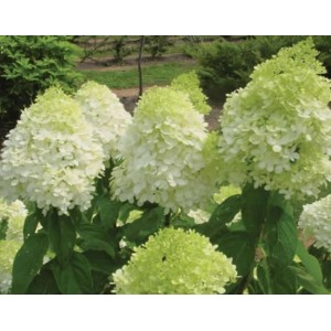 Hydrangea paniculata 'Limelight' / Aedhortensia 'Limelight'
