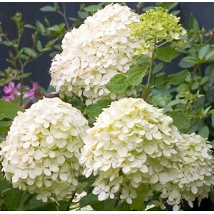Hydrangea paniculata 'Little Lime' / Aedhortensia 'Little Lime'