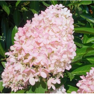 Hydrangea paniculata 'Magical Sweet Summer' / Aedhortensia 'Magical Sweet Summer'