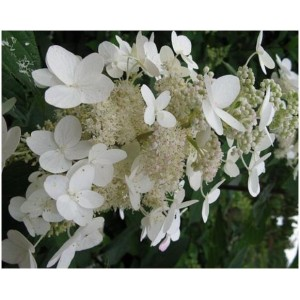 Hydrangea paniculata 'Unique' / Aedhortensia 'Unique'