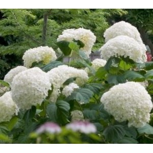 Hydrangea arborescens 'Strong Annabelle' / Puishortensia 'Strong Annabelle'
