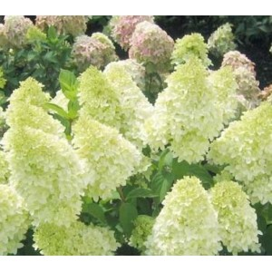 Hydrangea paniculata 'Magical Candle' / Aedhortensia 'Magical Candle'