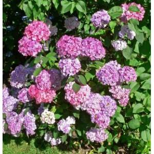 Hydrangea serrata 'Preziosa' / Saagjas hortensia 'Preziosa'