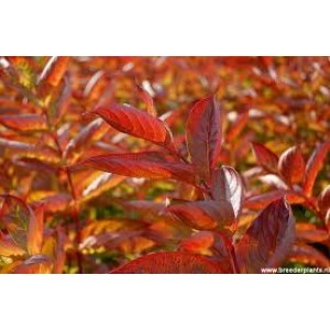 Weigela 'Wings of Fire' / Veigela 'Wings of Fire'