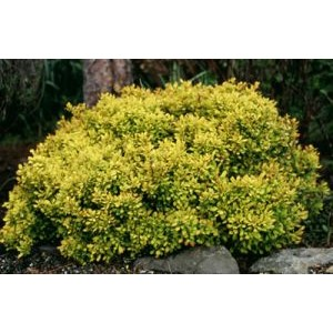 Berberis thunbergii 'Aurea' / Thunbergi kukerpuu 'Aurea'