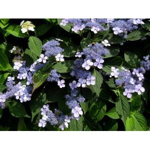 Hydrangea serrata 'Blue Bird' / Saagjas hortensia 'Blue Bird'