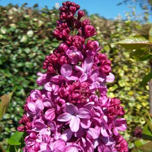 Syringa vulgaris 'Prince Wolkonsky' / Harilik sirel 'Prince Wolkonsky'